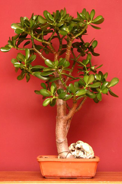 Ez a növény mágnesként vonzza a pénzt!
