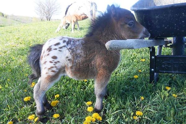 Imádnivaló mini lovak