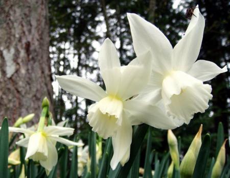 fehér nárciszok
